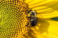 Yellow (londa.farrell) Tags: 2017 august canada canon canondslr canoneos7dmarkii dslr hantscounty novascotia bees daytime farm field outdoor summer sunflowermaze sunflowers falmouth