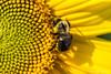 Yellow (londa.farrell) Tags: 2017 august canada canon canondslr canoneos7dmarkii dslr hantscounty novascotia bees daytime farm field outdoor summer sunflowermaze sunflowers falmouth