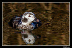 Long-tailed Duck-4 (billthomas_steel) Tags: longtailedduck duck bird britishcolumbia fraservalley wildlife canon canada eos7dmarkii winter clangulahyemalis waterfowl