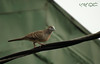 """""""Life is always a tightrope or a feather bed. Give me the tightrope"""" (A. K. Hombre) Tags: bird geopeliastriata barredgrounddove zebradove aves columbiformes batobatongkatigbe line cable perkutut"""