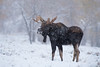 Merry Christmas! (Amy Hudechek Photography) Tags: bull moose snowing forest gtnp grand teton national park wildlife nature winter amyhudechek