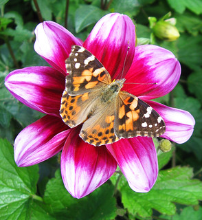 Painted Lady on Dahlia at the NYBG (Explored)