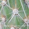 Miqueliopuntia miquelii (SUBENUIX) Tags: cactaceaeopuntias miqueliopuntiamiquelii suculentas subenuix subenuixcom planta suculent suculenta botanic botanical