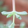Lampranthus deltoides (SUBENUIX) Tags: aizoaceae lampranthusdeltoides suculentas subenuix subenuixcom planta suculent suculenta botanic botanical
