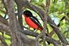 Crimson-breasted Shrike (Laniarius atrococcineus) (Andrew I Thompson) Tags: birdholidays namibia etosha national park