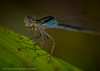 Damsel On a Leaf (lastminutephoto) Tags: larrymammone damsel damselfly closeup macro face leaf insect flying