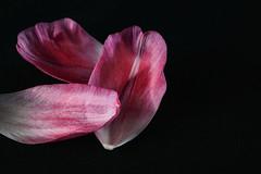Happy New Year (Nikon Guy 56) Tags: tulip petals pink nikon macro nature d5300