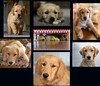 Riley's 2017 in review (Peeb-OK) Tags: dog puppy goldenretriever pet animal portrait