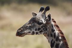 la jirafa triste (vitofonte) Tags: jirafa giraffe maasaigiraffe giraffatippelskirchi kilimanjarogiraffe sabana savannah serengetinationalpark tanzania africa naturaleza nature natura natureza vitofonte