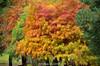 Colorful Winter (szintzhen) Tags: 落羽松 落羽衫 樹 葉 台北市 台灣 taxodiumdistichum deciduouscypress tree leaf taipeicity taiwan