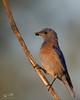 "Male Western Bluebird (dennis_plank_nature_photography) Tags: sialiamexicana westernbluebird bird wa washington aves avian birds littlerock nature prairie ""thurstoncounty"" ""avianphotography"" ""birdphotography"" ""naturephotography"" ""southsoundprairies"""