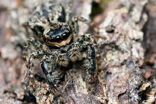 Marpissa muscosa Female