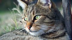 PC110135 Frumo il matto quando è tranquillo (La Patti) Tags: colori colors nature natura bestofcats cat gatto gatti cats animal eyes occhi outdoor all'aperto