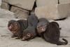 Common Dwarf Mongoose (K.Verhulst) Tags: commondwarfmongoose dwergmangoest mangoest mongoose emmen wildlandsadventurezoo wildlands
