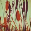 342 : 365 : VI (Randomographer) Tags: project365 square plant colorado nature typha bulrush reedmace cattail catninetail punks corn dog grass cumbungi raupo depth field outdoor digital art composite 365 vi