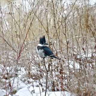 365-3-352 Belted Kingfisher, Fish Creek Provincial Park