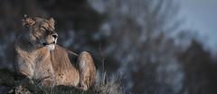 Lioness (neil 36) Tags: yorkshire wildlife park lioness great story jet2com doncaster airport lion rescue