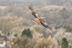 Red Kite (cazalegg) Tags: bird prey red kite scotland galloway forests nikon explored
