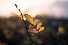 Singing a Lullaby (ursulamller900) Tags: pentacon28100 rose leaf rosenblatt sunset sonnenuntergang bokeh
