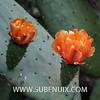 Opuntia ficus-indica (SUBENUIX) Tags: cactaceaeopuntias opuntiaficusindica suculentas subenuix subenuixcom planta suculent suculenta botanic botanical
