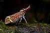 Lantern bug (Phrictus quinqueparitus) (ggallice) Tags: lanternbug lanternfly hemiptera fulgoridae phrictusquinqueparitus laselva laselvabiologicalstation ots organizationfortropicalstudies heredia sarapiqui costarica centralamerica insect wildlife