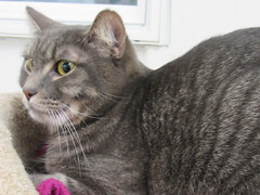 Tigger #2 - 2 year old neutered male
