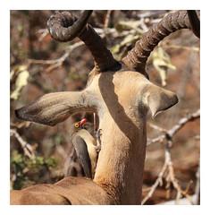2016 10 15_Red-billed Oxpecker-1 (Jonnersace) Tags: africa impala krugernationalpark redbilledoxpecker rooibekrenastervoel ear grooming pestcontrol horns bird cleaner ticks symbiosis buphaguserythrorhynchus canon7dii canon100400ii wildwingssafaris