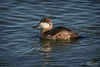 Ruddy Duck Drake, Winter Plummage (Don Dunning) Tags: animals birds california canon100400mm canon7dmarkii duck lasgallinaswetlands marincounty ruddyduck sanrafael unitedstates water oxyurajamaicensis