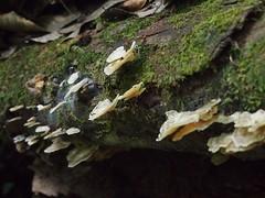 Fungi - Brownsberg (mulderlis) Tags: suriname brownsberg fungi zwam paddestoel