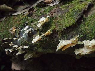 Fungi - Brownsberg