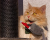 Look, BIRDS, I got a new mouse from Santa ! (FocusPocus Photography) Tags: linus katze kater cat chat gato tier animal haustier pet maus mouse spielzeug toy