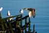 DSC_5140 (Inapapel) Tags: 300mmpf animals biodiversidad bird d7200 hegaztiak nature nikon plaiaundi txingudi birdhunting birdphotografy birdwatching flickr ducks anade fauna birdsinflight birding ahateak
