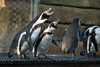 Danish Penguins (virtualwayfarer) Tags: copenhagen kbh kobenhavn zoo zoologicalpark touristattraction animals visitcopenhagen visitdenmark danishattractions bird birds penguin penguins smallpenguins friends friendship relaxing pairof danishpenguins seabird fowl alexberger nordic scandinavia sonyalpha a7rii lenstest winter lateautumn latefall