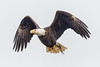 The Stare (tresed47) Tags: 2017 201712dec 20171204conowingoeagles birds canon7d conowingo content december eagle fall folder maryland peterscamera petersphotos places season takenby us ngc