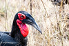 Southern Ground Hornbill (mayekarulhas) Tags: krugerpark mpumalanga southafrica za hornbill southern ground safari wildlife wild canon bird avian
