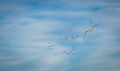 Canadian geese over Lake Ladora, RMA, Denver, CO. (scepdoll) Tags: commercecity denver colorado rockymountainarsenal lakeladora nationalwildliferefuge canadiangeese winter