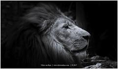 The Lion King, Netherlands (CvK Photography) Tags: amersfoort animals canon color cvk europe lion nature netherlands summer utrecht zoo nederland nl thelionking