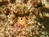 Sea Cucumber Closed (PacificKlaus) Tags: siquijor philippines apodiver ocean underwater scuba diving nature macro closeup anus seacucumber holothurian echinoderm