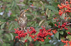 Redwing-Turdus iliacus. (PANDOOZY PHOTOS) Tags: redwing turdusiliacus cotoneaster berry berries red cotoneasterberry cotoneasterberries winter uk thrush bird wildlife nature food feeds feeding migrant migrates hedge wild garden birds thrushes redwings rosaceae gb