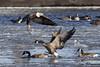 Heavy Traffic (david.horst.7) Tags: eagle bird goose geese canada fish flight nature wildlife