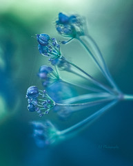 Blue dreams .. (Julie Greg) Tags: nature blue pastel flower park