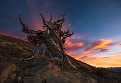 Ancient Guild (Maddog Murph) Tags: methuselah tree bristlecone pine ancient forest pinus longaeva white mountains owens valley visit bishop mammoth high sierra california death national park lands sunset roots branches skeleton silhouette glow blue orange