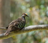 Common Bronzewing Phaps chalcoptera Columbidae (Mykel46) Tags: common bronzewing phaps chalcoptera columbidae birds nature wildlife sony a7r111 a7r3 100400mm gm