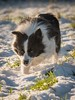 Focussed Islay (Chris Willis 10) Tags: dogssnow dog pets animal purebreddog cute canine outdoors bordercollie puppy snow nature mammal domesticanimals friendship fun small winter sheepdog collie playful