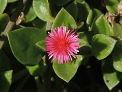Herzblättrige Mittagsblume am Camino las Toscas, La Palma , NGIDn117575963