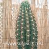 Pachycereus pringlei-2 (SUBENUIX) Tags: cactaceae pachycereuspringlei suculentas subenuix subenuixcom planta suculent suculenta botanic botanical
