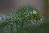 Münster 20171209 (Dirk Buse) Tags: olympus em1ii mft m43 münster universität botanischer garten natur schlossgarten outdoor nature schnee regentropfen grün zweig ast bokeh schärfe zuiko pro 40150 4015028 color colour farbe
