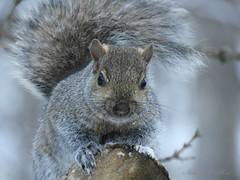 Winter squirrel (NaturewithMar) Tags: squirrel macro winter tree snow wisconsin nikoncoolpix b700