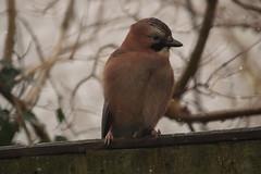 Jay (charliejb) Tags: jay bird avian feathered beak garden home 2017 bristol fence outdoors wildlife wildbird snow