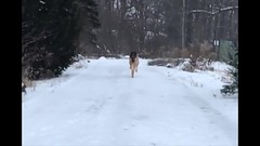 Harley Running In The Snow (Thomas Muir) Tags: tommuir germanshepherd dog ohio perrysburg woodcounty december winter snow storm flurries outdoor nature notrespassing